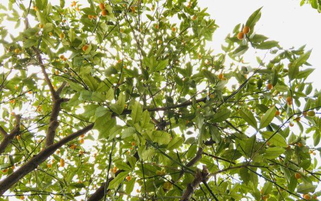 庭の金柑の木が大好き